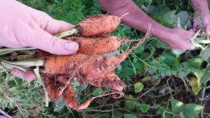 Magpoc Homestead Carrots