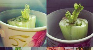 free food regrowing veggie scraps