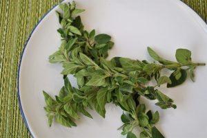 oregano herbal treatment oregano essential oil