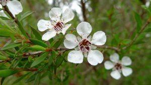 tea tree herbal treatment tea tree essential oil