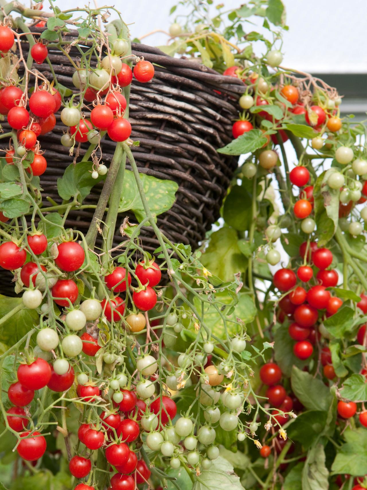 tomato hanging garden