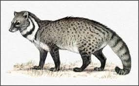 civet catr