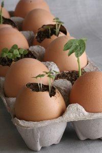 eggshell seedlings