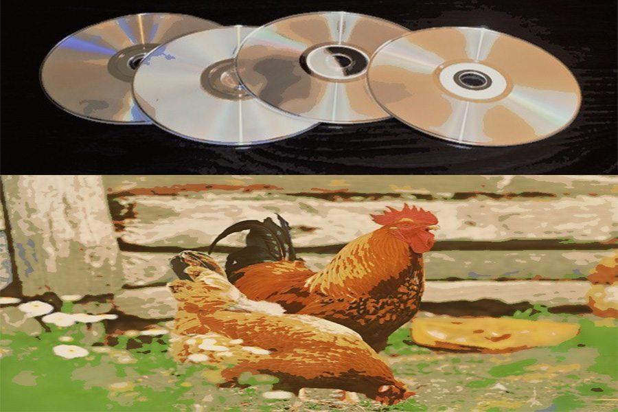 cd s for chickens ways to keep your chickens entertained
