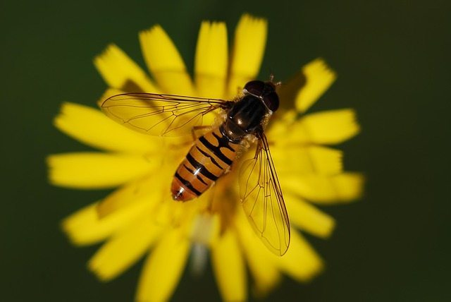 hover-fly-61682_640