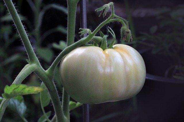 tomato-1514524_640