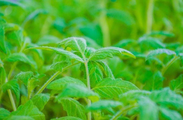 tomato-plants-334392_640