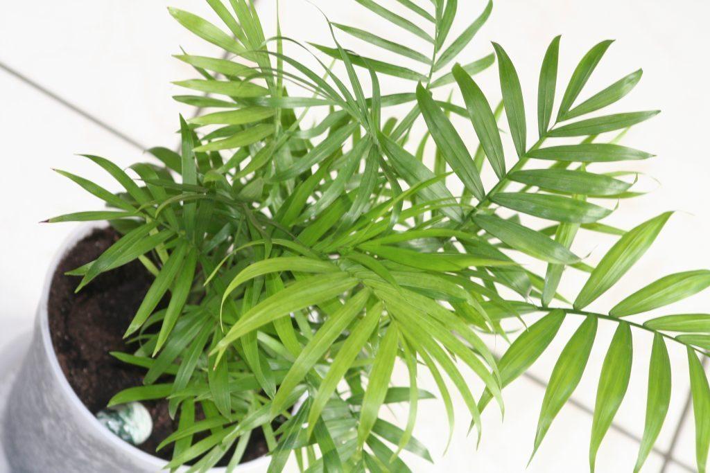 Bamboo Palm (Chamaedorea seifritzii) plants