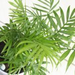 Bamboo Palm (Chamaedorea seifritzii)