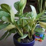 Chinese Evergreen (Agloanema)