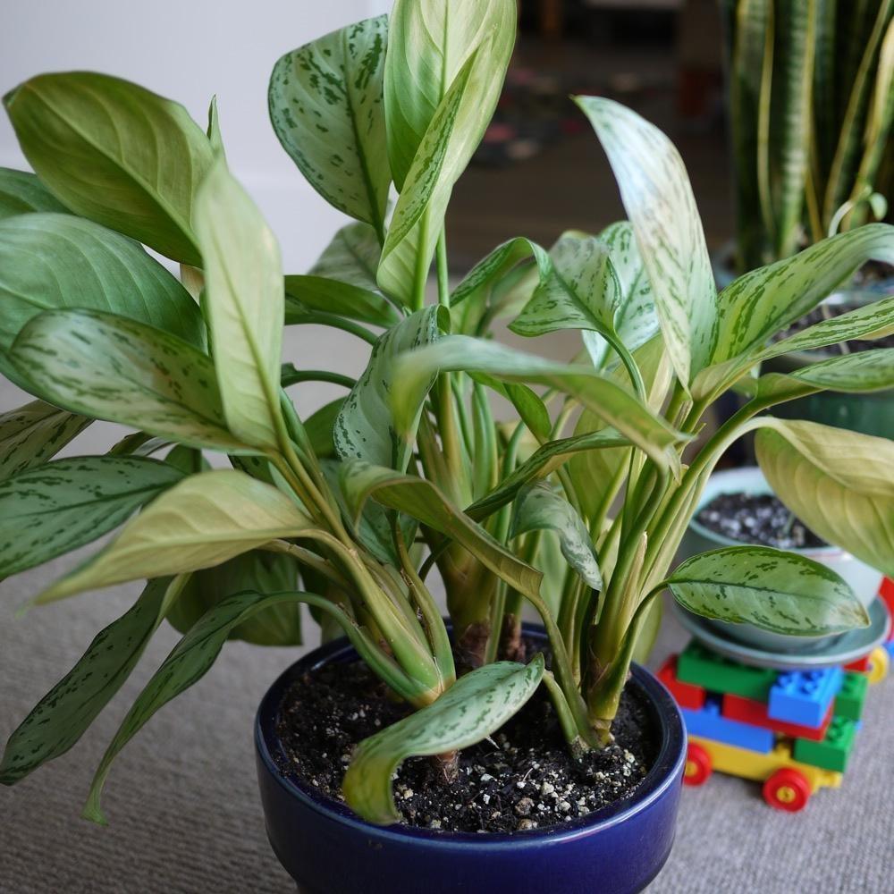 Chinese Evergreen (Agloanema) plants