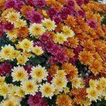 pot mum (Chrysanthemum Morifolium)