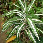 Warnekii (dracaena deremensis)