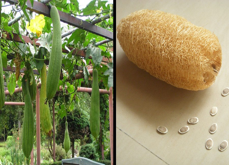 luffa-gourd