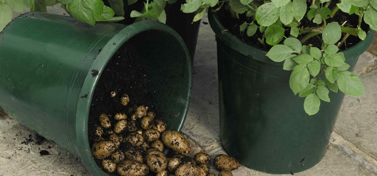 The Easy Way To Grow Loads Of Potatoes In A Trash Can