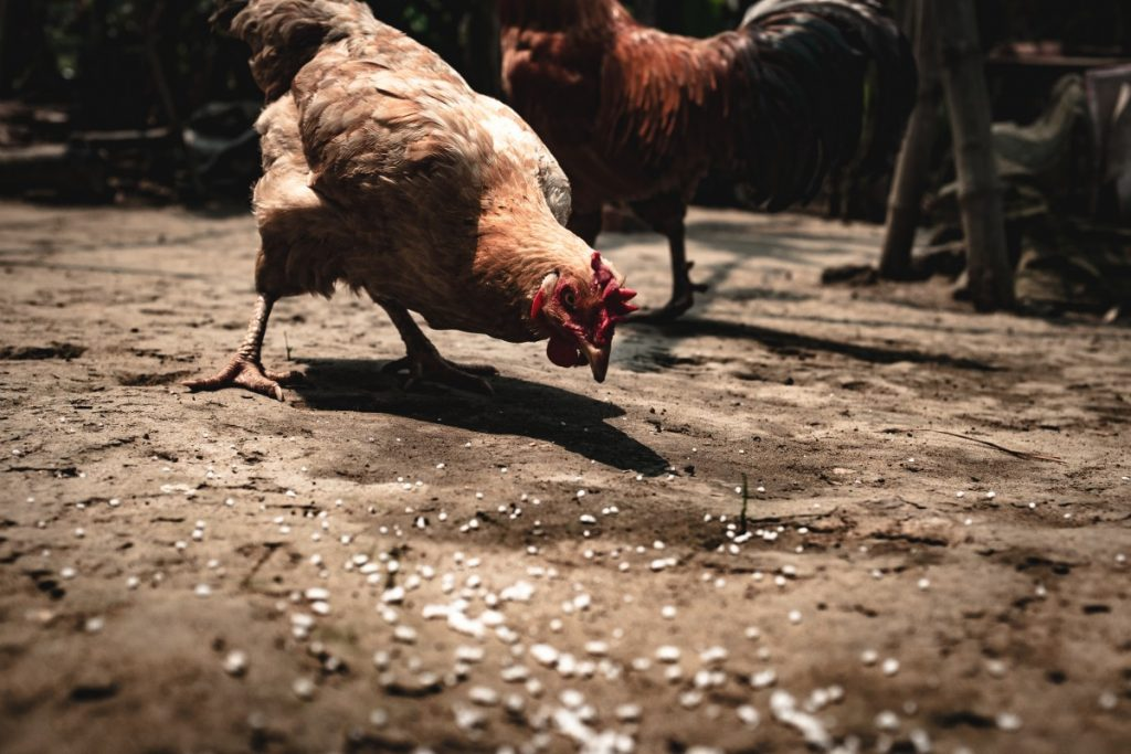 Diy Chicken Feed Recipe Better Cheaper Eggs Homestead Guru