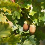 How to Cook with Acorns