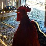 frostbite in chickens