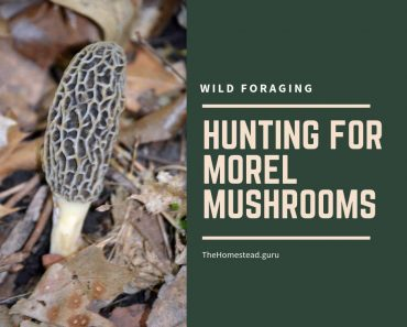 hunting morel mushrooms