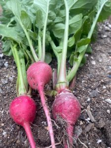 radishes in August