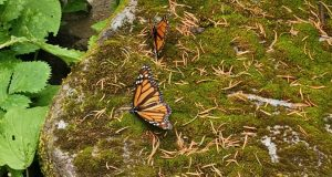 monarch butterflies coronavirus