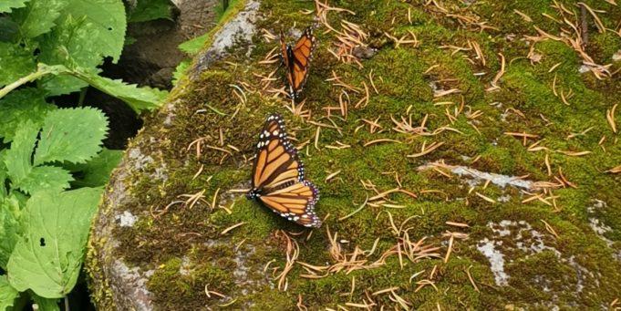 monarch butterflies coronavirus