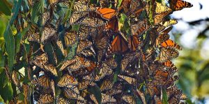 monarch butterflies sanctuaries history